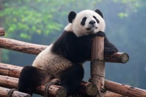 Профессиональные панды