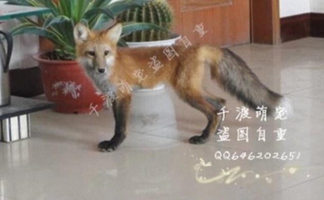 Продажа лисы на Таобао