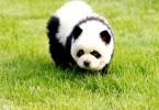 Собака, как панда. Китай