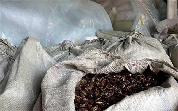 Сухие, готовые к отправке тараканы на ферме в Китае