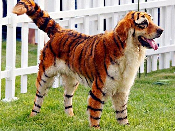 Китайцы окрасили своего питомца в окраску тигра