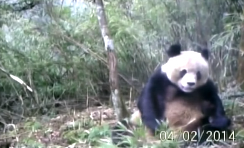 Мастурбирующая панда. Источник: www.iflscience.com
