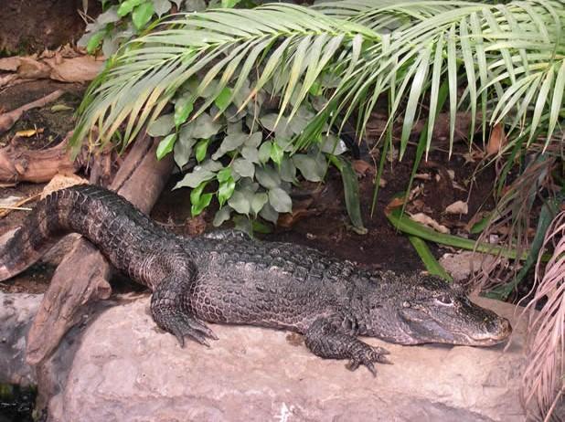 Китайский аллигатор. Источник фото - crocfiles.info