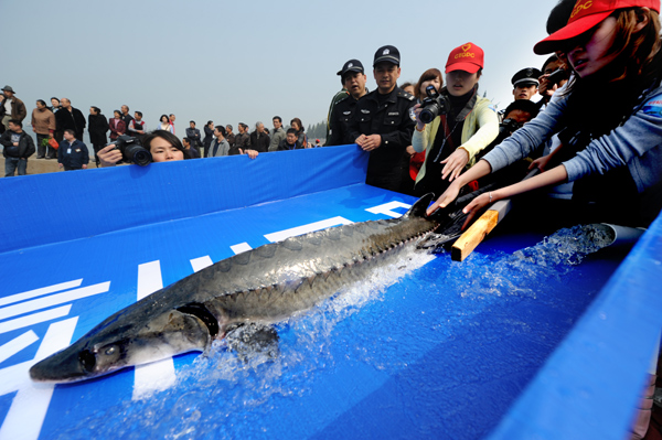 Китайский осетр. Источник фото - chinadaily.com.cn