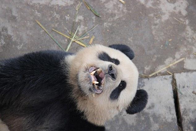 Самки панды издают перед сексом странные призывные звуки. Источник: shanghaiist.com