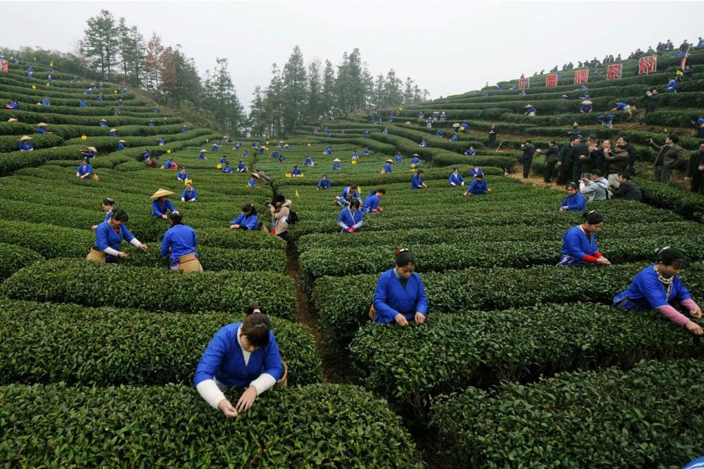 Сбор чая на плантации