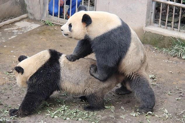 Сотрудники исследовательского центра следят за тем, чтобы панды нашли друг друга в нужное время. Источник: shanghaiist.com
