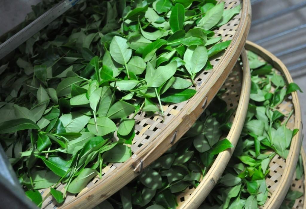 Сушка чайных листьев для молочного улуна