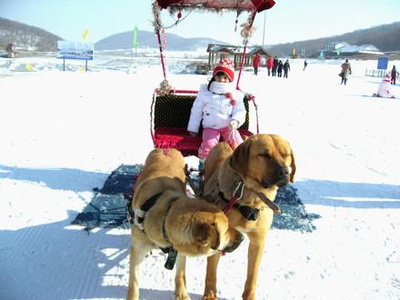 Катание на собачьих упряжках на территории курорта «Хуайбэй»