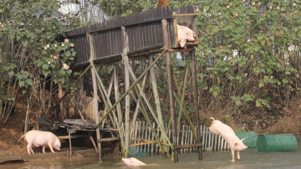 На китайской ферме свиньи плавают