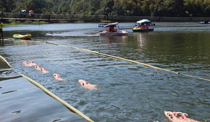 Свиньи плывут наперегонки