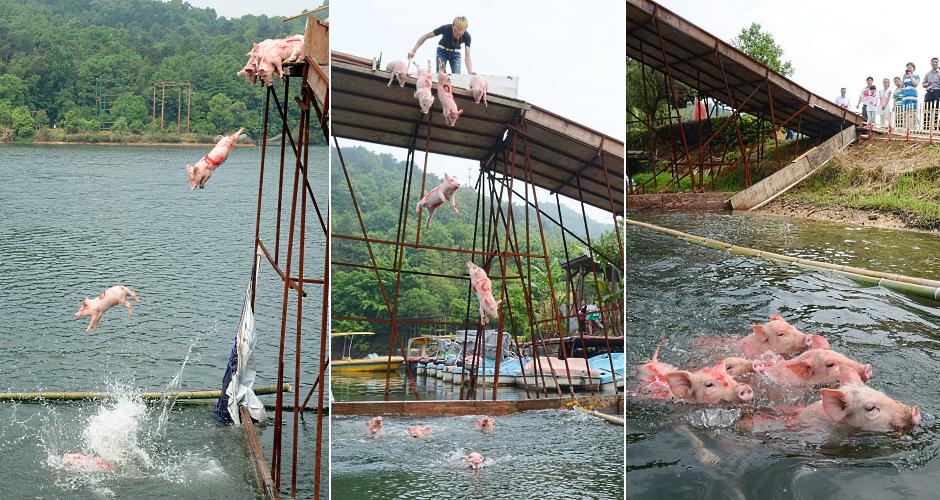 Свиньи прыгают с платформы в реку