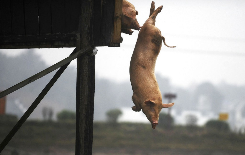 Свинья прыгает в воду