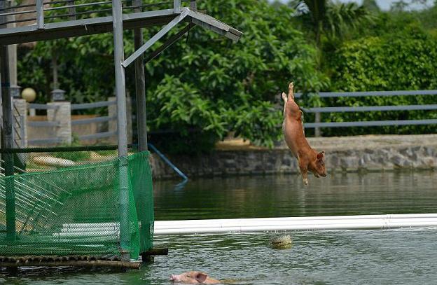 Свиньи прыгают в воду