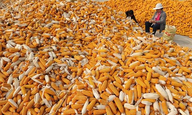 Китайская кукуруза - в зоне риска. Источник: theguardian.com