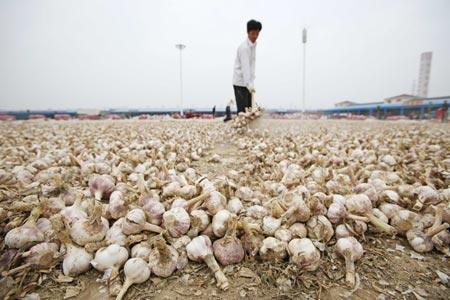 Китайский чеснок может быть опасным. Источник: www.wantchinatimes.com