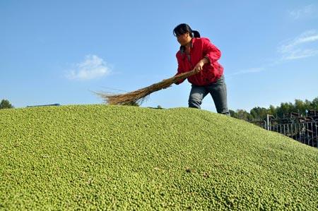 Соя популярна во всем мире, но китайская может быть вредной. Источник: www.wantchinatimes.com