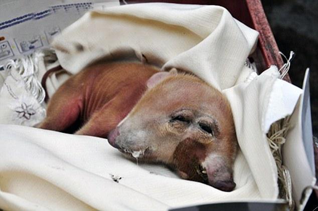 Рождение двуликой свиньи хозяева сочли удачной приметой. Источник: dailymail.co.uk