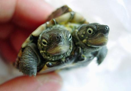 Двуглавая черепаха из Циндао. Источник: nationalgeographic.com