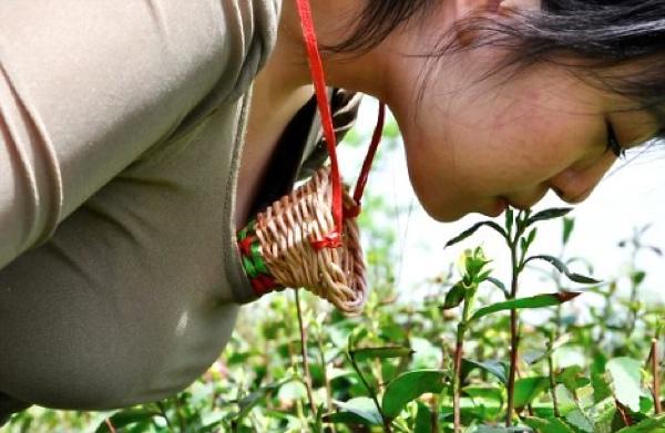 Чай, собранный девственницами. Источник: listverse.com