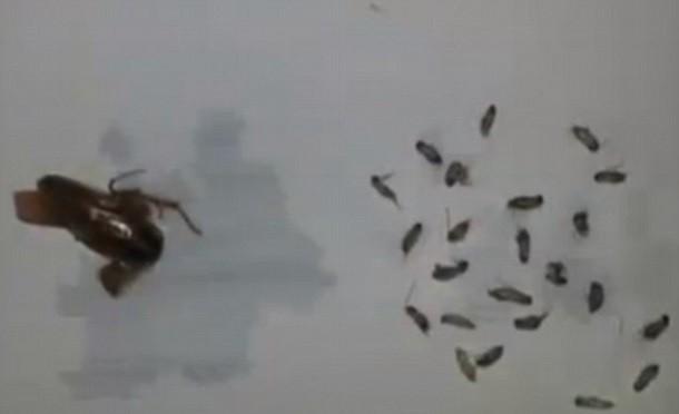 В ухе 25-летнего китайца жила целая семья тараканов, состоящая из матери и ее 25 детей. Источникkor.ill.in.ua