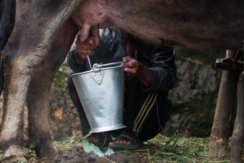 Процесс дойки буйволицы. Фото: tamariskrtw.com