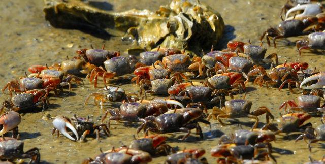 river-crabs