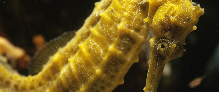 seahorse-pacific-710x300 (1)
