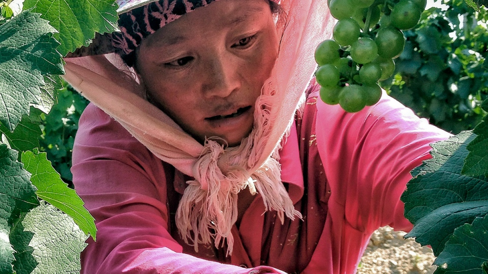 Смуглянки-китаянки собирают виноград. Фото: ctvnews.ca