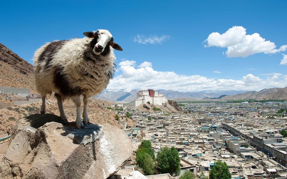 Овца на скале над Лхасой, столицей Тибета. Позади - дворец Потала. Фото: bugbog.com