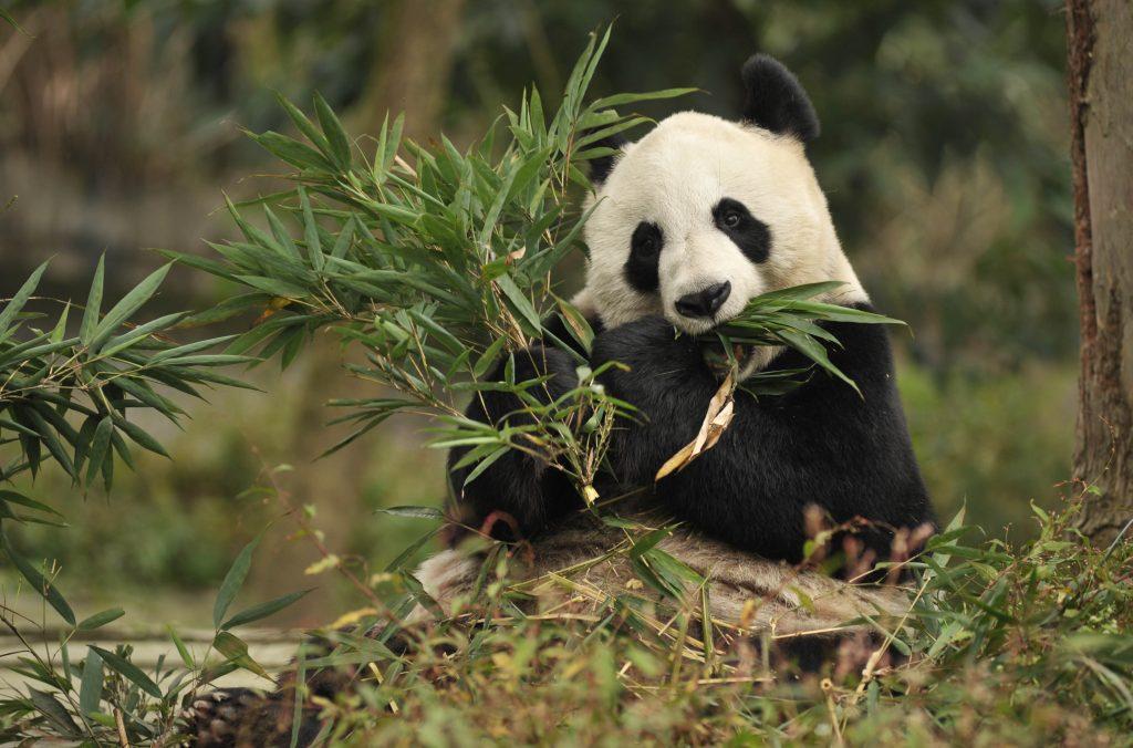 В Центре исследования и разведения гигантских панд в Чэнду. Фото: gochengdu.cn