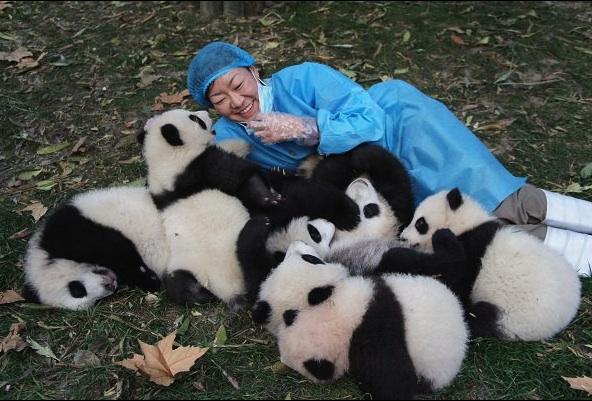Чэнду и панды созданы друг для друга! Фото: https://www.giantpandaglobal.com/