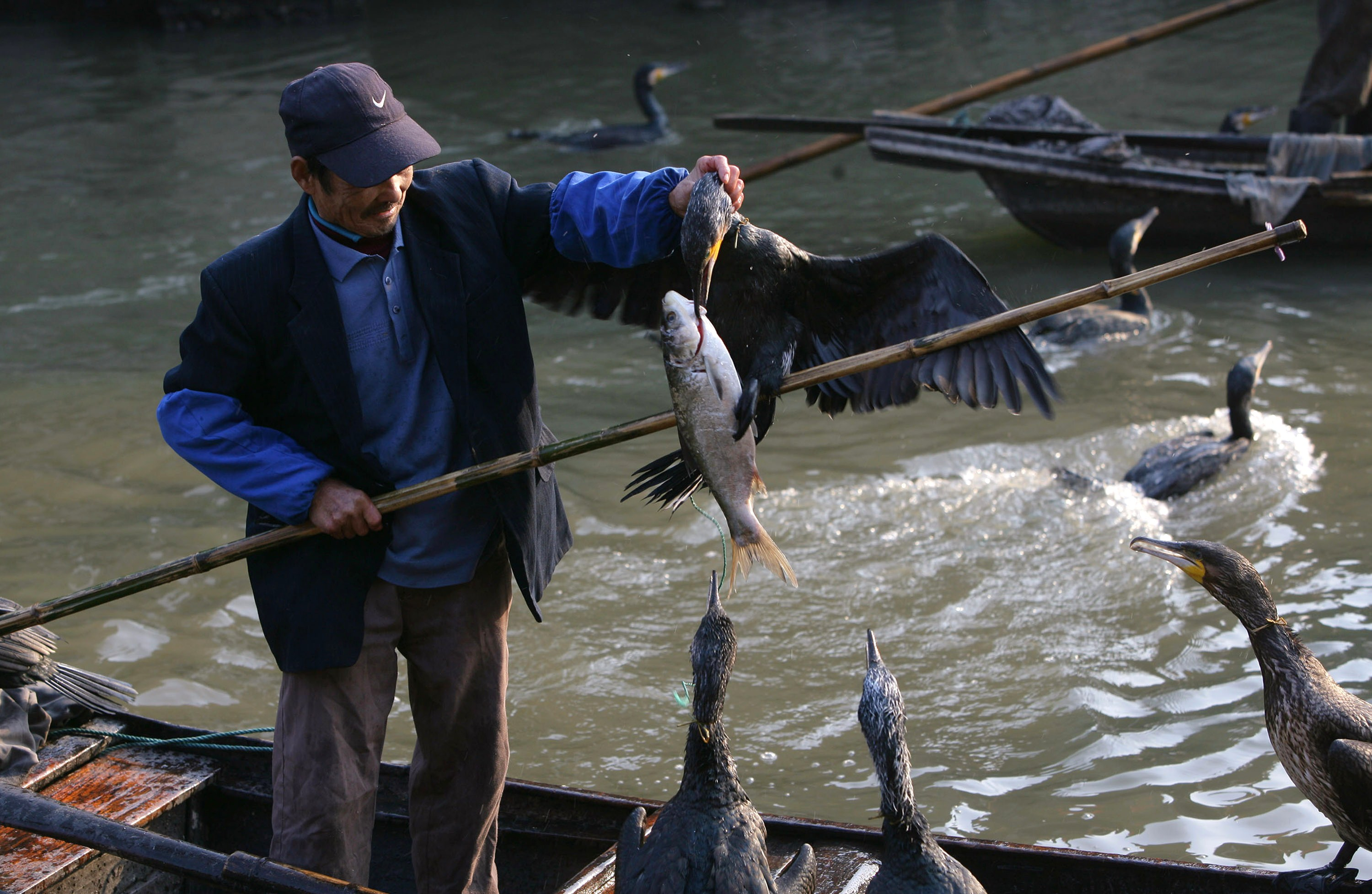 JIASHAN COUNTY, CHINA - NOVEMBER 27: (CHINA OUT) A fisherman takes a cormorant which catched a fish on a canal on November 27, 2007 in Xitang Town of Jiashan County, Zhejiang Province, China. The ancient Water Town Xitang, renowned for its traditional buildings and peaceful life, is a famous tourist destination. Xitang is specially known for its bridges, lanes, and ceilinged corridors. There are over 100 bridges of varied structures built in the Ming and Qing Dynasties. (Photo by China Photos/Getty Images)