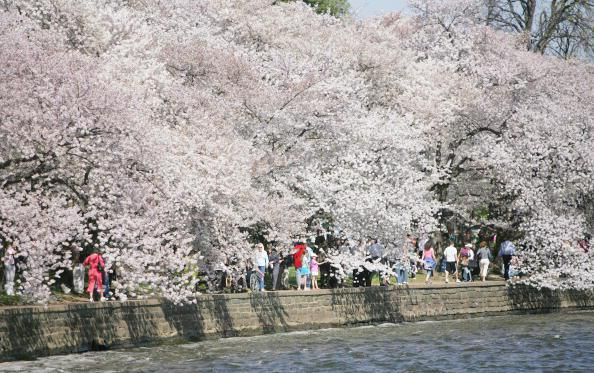 Washington, UNITED STATES: The 95th annual Cherry Blossom Festival is in full bloom and runs until April 15th along East and West Potomac Parks 03 April, 2007 in Washington, DC. The festival commemorates Japan's gift of 3,020 trees to the US in 1912 as a symbol of the two countries friendship. AFP PHOTO / Tim Sloan (Photo credit should read TIM SLOAN/AFP/Getty Images)